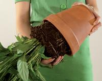 Irroita kasvi ruukusta ja poista vioittuneet juurenosat.